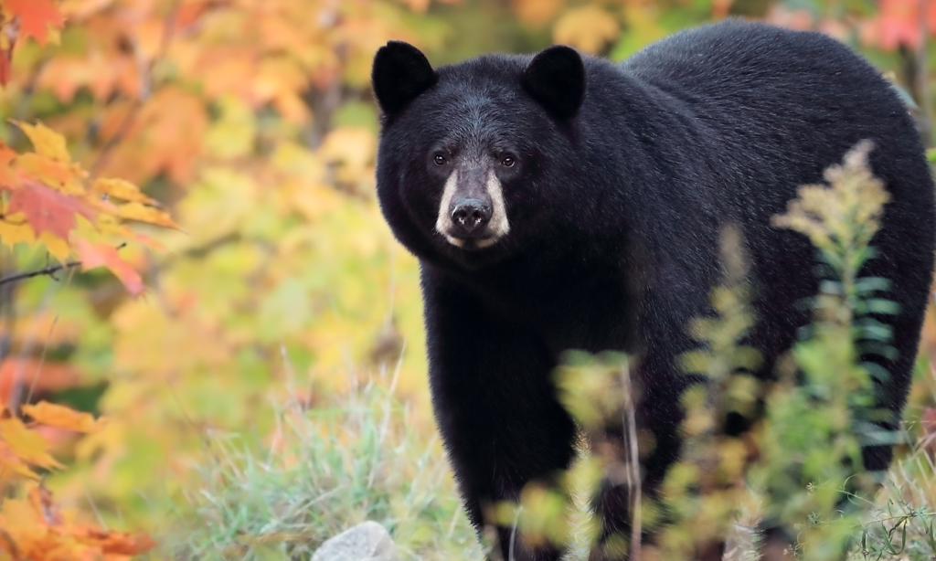 Watch-this-Adult-Black-Bear-Wander-Into-Liquor-Store