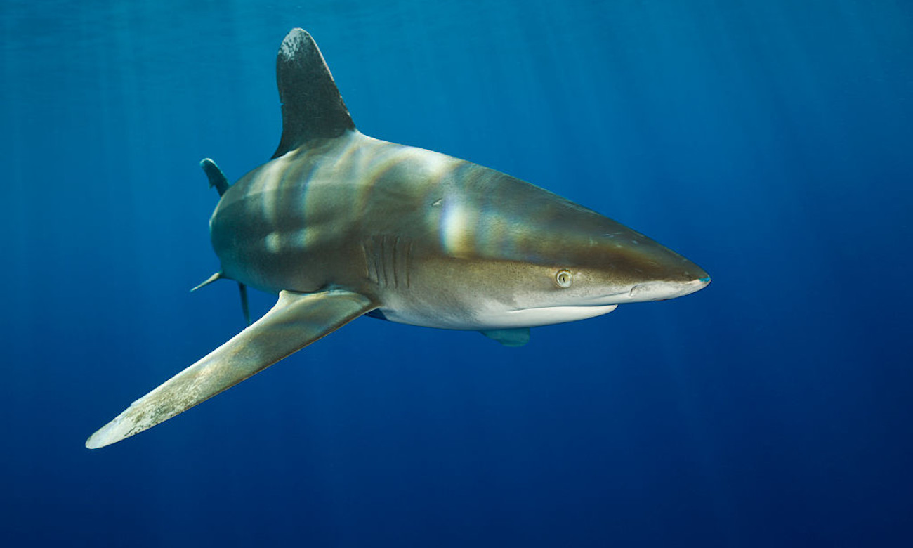 Fisherman Attacked By Whitetip Shark After Reeling It In