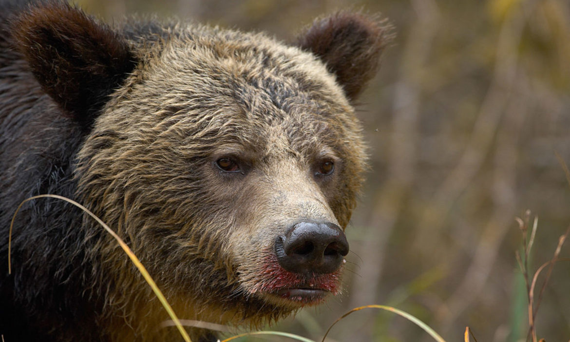 mother-grizzly-bear-cubs-attacks-bow-hunters