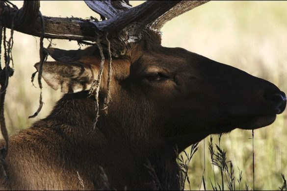 video-massive-elk-screeches-fly-fisherman-standing-inches-away