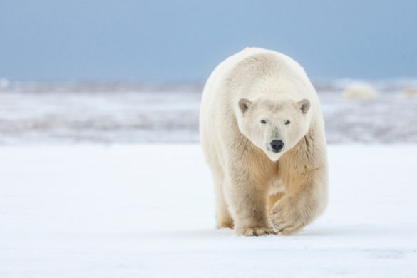 Polar-Bear-Attacks-Canadian-Air-Force-Helicopter