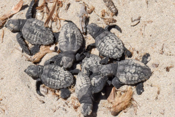 Scientists-Discover-Elusive-White-Sea-Turtle-Hatchling-South-Carolina-Beach