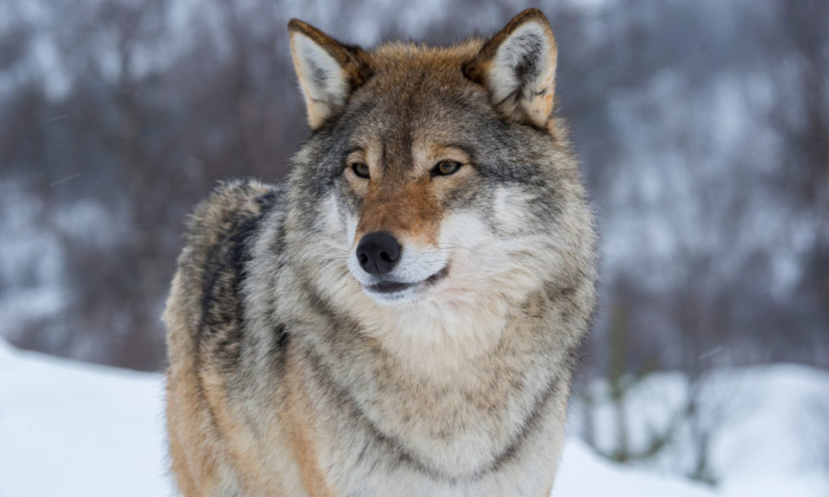 trump-administration-ends-protections-gray-wolf-across-most-us