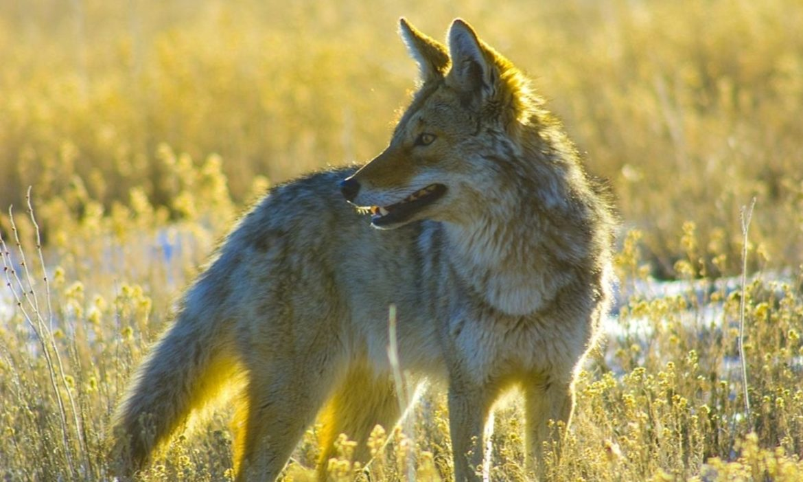 watch-5-tips-for-a-successful-coyote-hunt