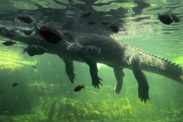 remains-missing-fisherman-found-monstrous-crocodile