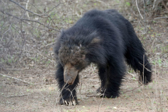 rampaging-sloth-bear-attacks-six-people-escapes-capture