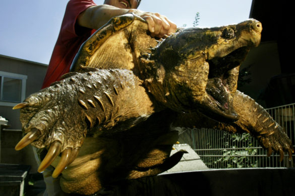 131-pound-snapping-turtle-named-jj-watt-tagged-released-houston-area