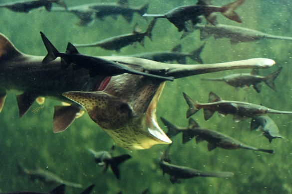 photos-tennessee-anglers-land-prehistoric-paddlefish-being-towed-half-mile