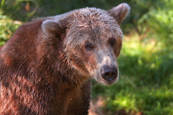 beloved-brown-bear-otis-found-alive-well-katmai-national-park-disappearing-year