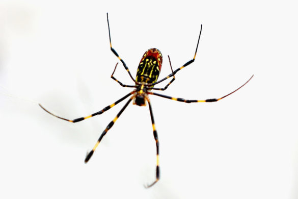 giant-asian-spiders-are-here-to-stay-southeastern-united-states