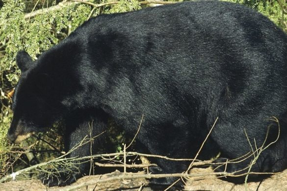 maine-bears-fat-healthy-status-proves-problem-for-hunters