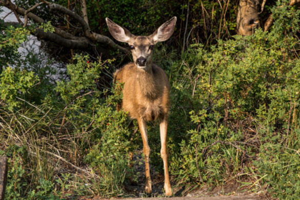 cwd-deer-continues-spread-tennessee-county-becomes-9th-in-state-report-case