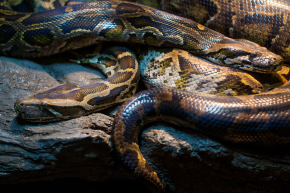 watch-two-pythons-snakes-fall-through-home-ceiling-fight-ritual-combat-on-floor